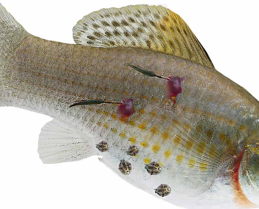 a férgekben lévő halak kezelése a tóban)