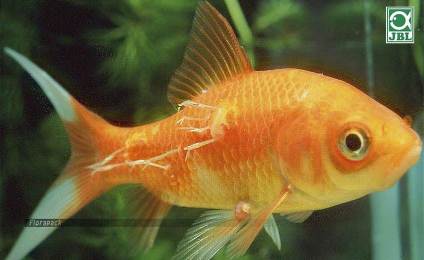 férgek kezelése a halakban)